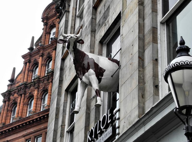 Edinburgh Cow Scotland UK
