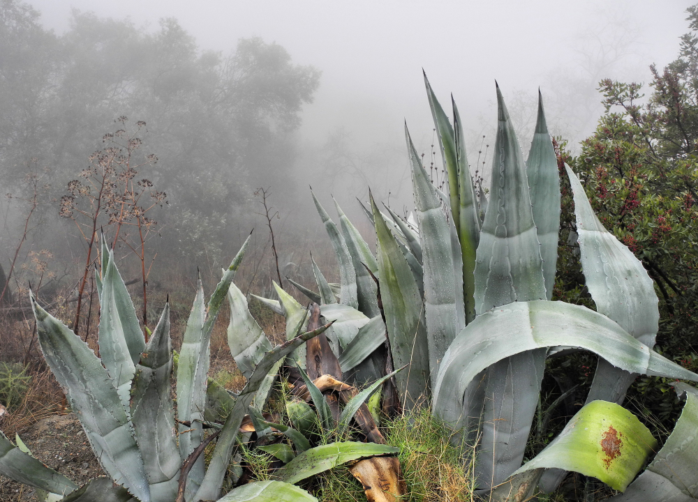 Agave Mist Comares Axarquia Andalusia Spain
