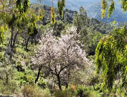 Almond Montes de Malaga Andalusia  Spain