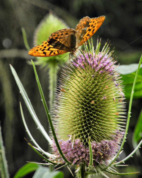 Mortimers Forest Ludlow Shropshire UK Fritillary