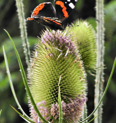 Mortimers Forest Ludlow Shropshire UK Red Admiral