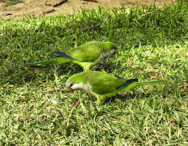 Torre del Mar Andalusia Parakeets