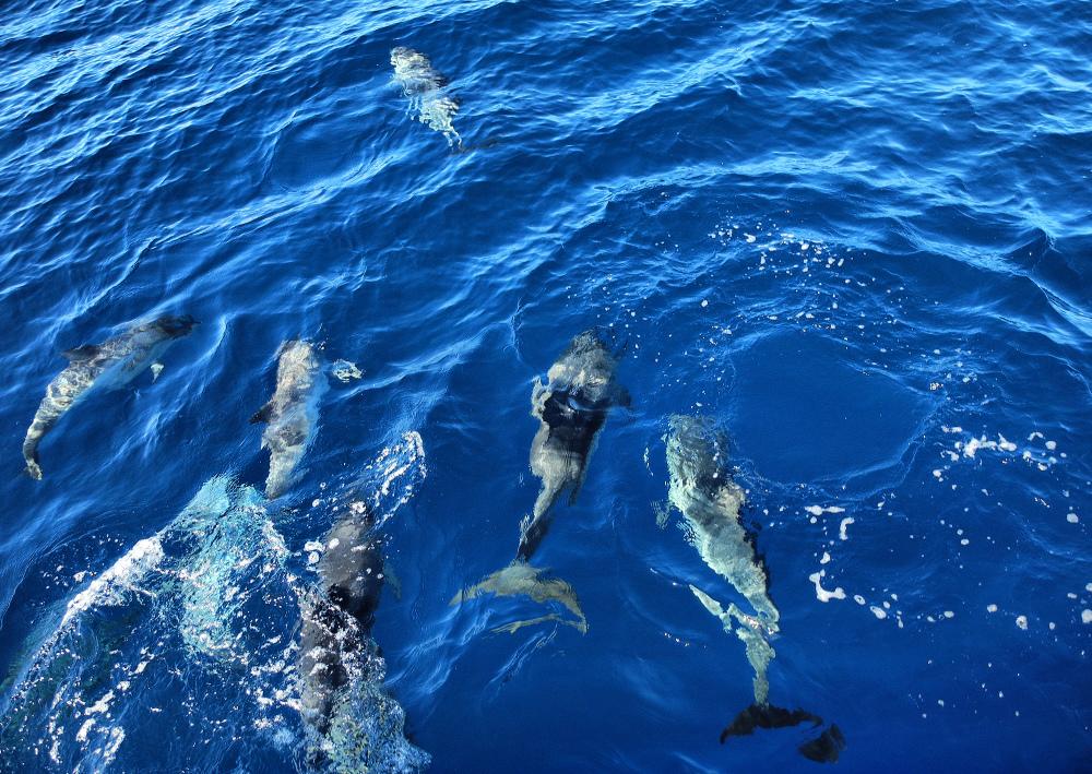 La Gomera Canaries Spain Dolphins