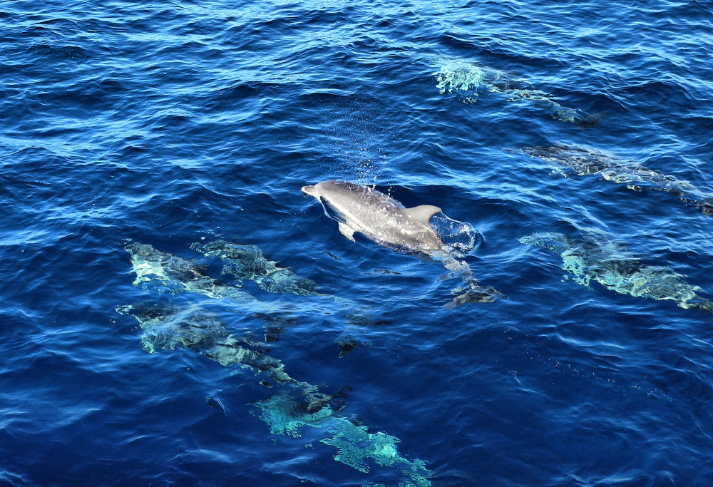 La Gomera Canaries Spain Dolphins