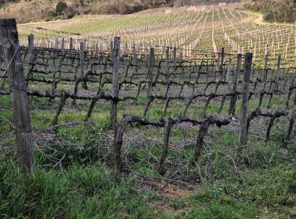 Borgonuovo Italy Vines