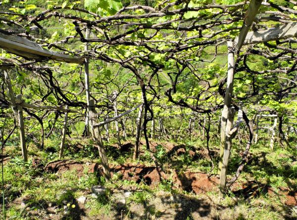 Madeira Vines