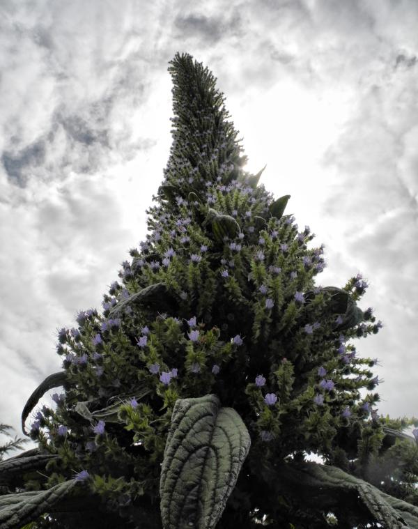 Cornwall Echium