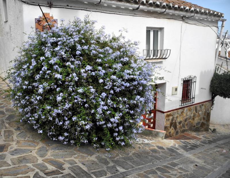 Comares Axarquia Spain Plumbago