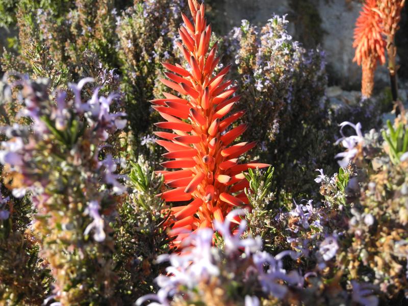 Comares Axarquia Spain Succulent