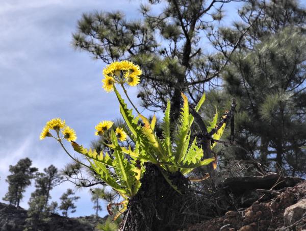 Gran Canaria Spain Tunte Aster