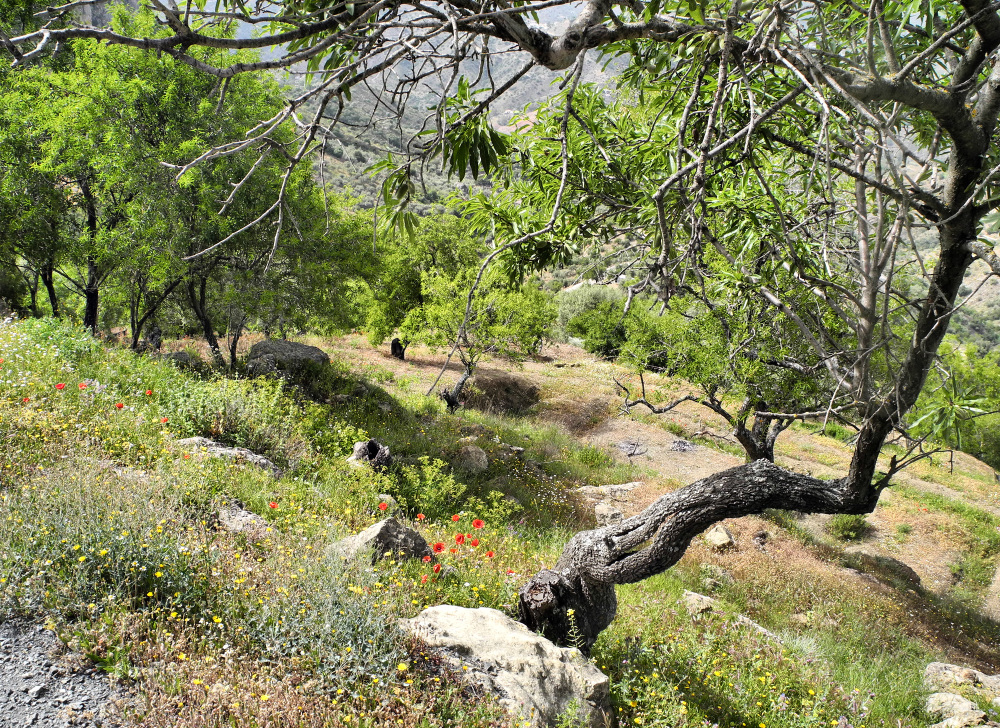 Comares Axarquia Spain Almond