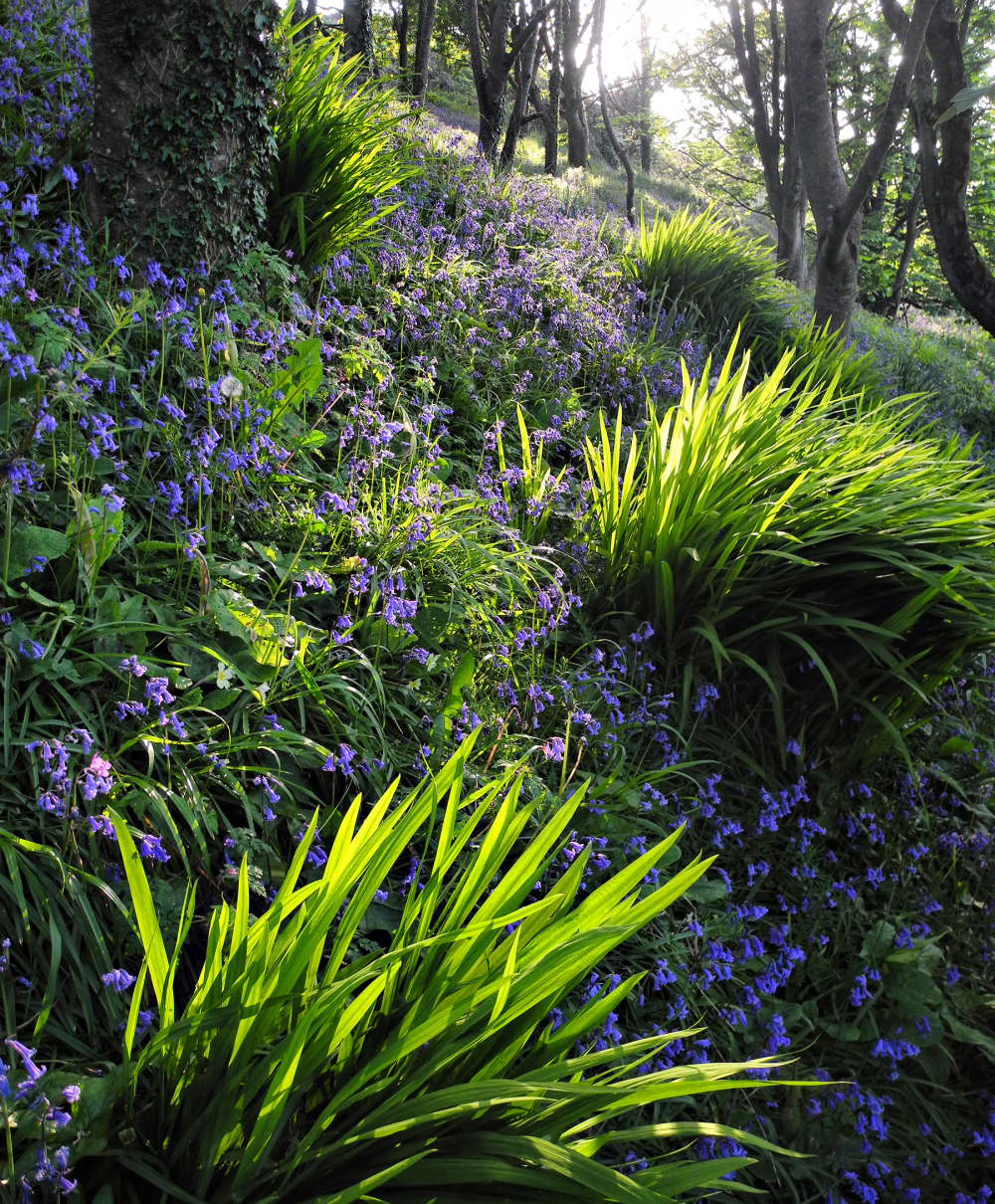 Penally Wales UK Bluebells