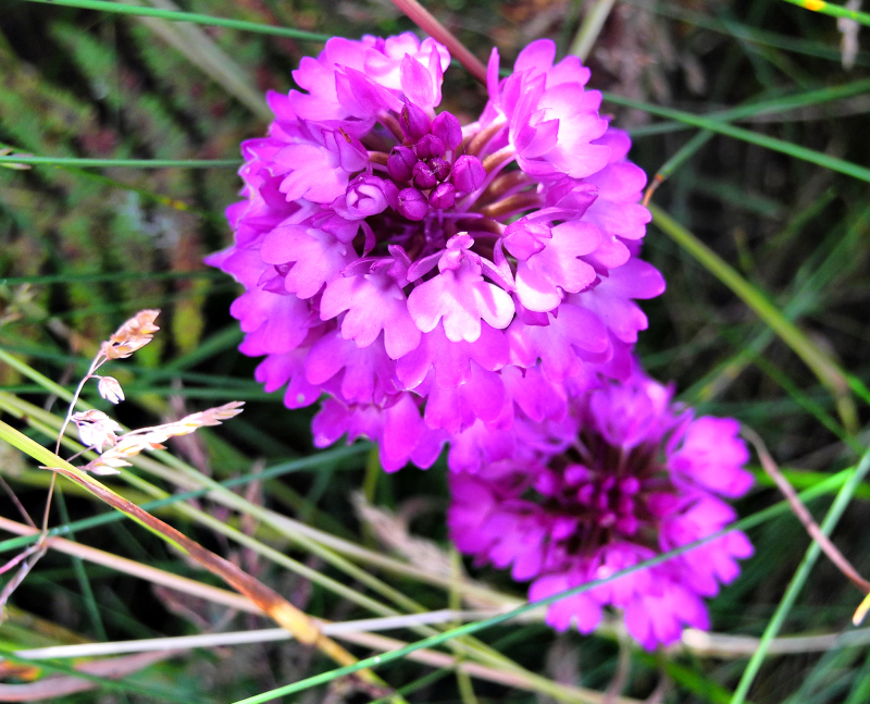 Pembrokeshire Wales UK Orchid