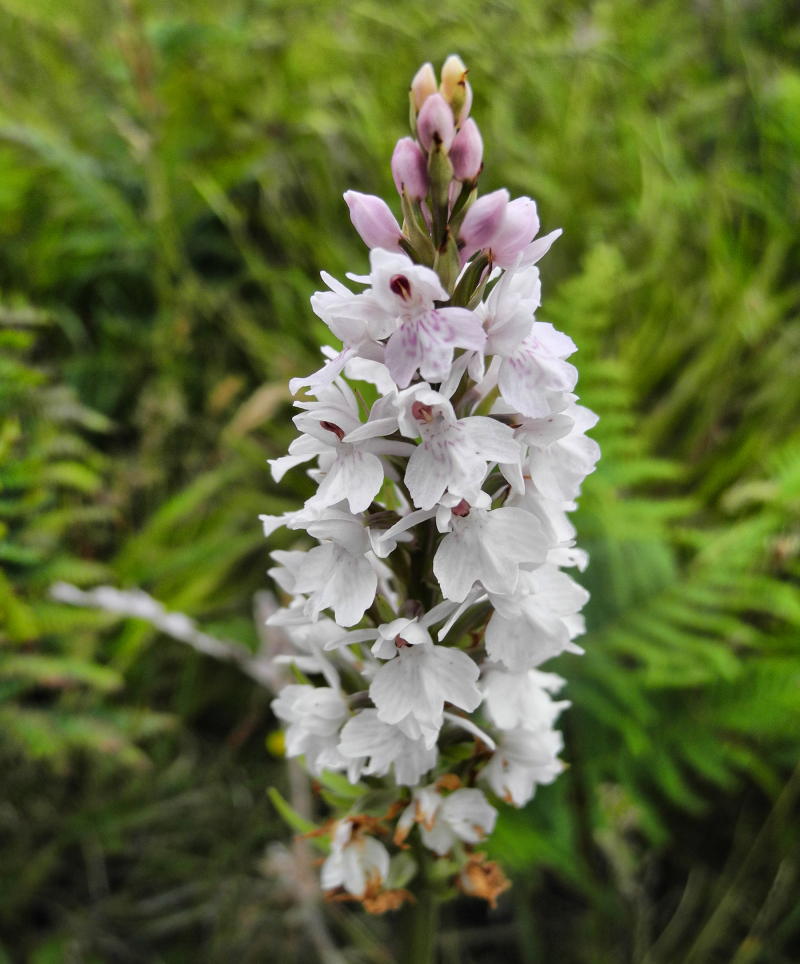 Pembrokeshire Wales UK Orchid