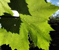 Ludlow Shropshire UK Vine Leaf