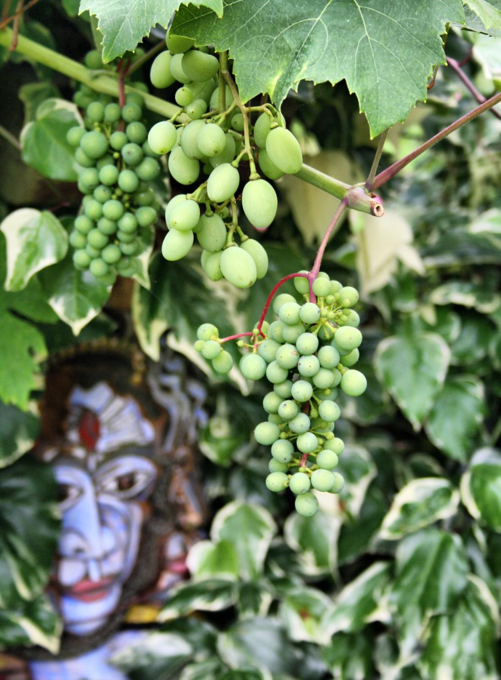 Ludlow Shropshire UK Grape