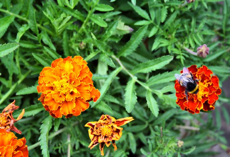 Ludlow Shropshire UK Cane Marigold