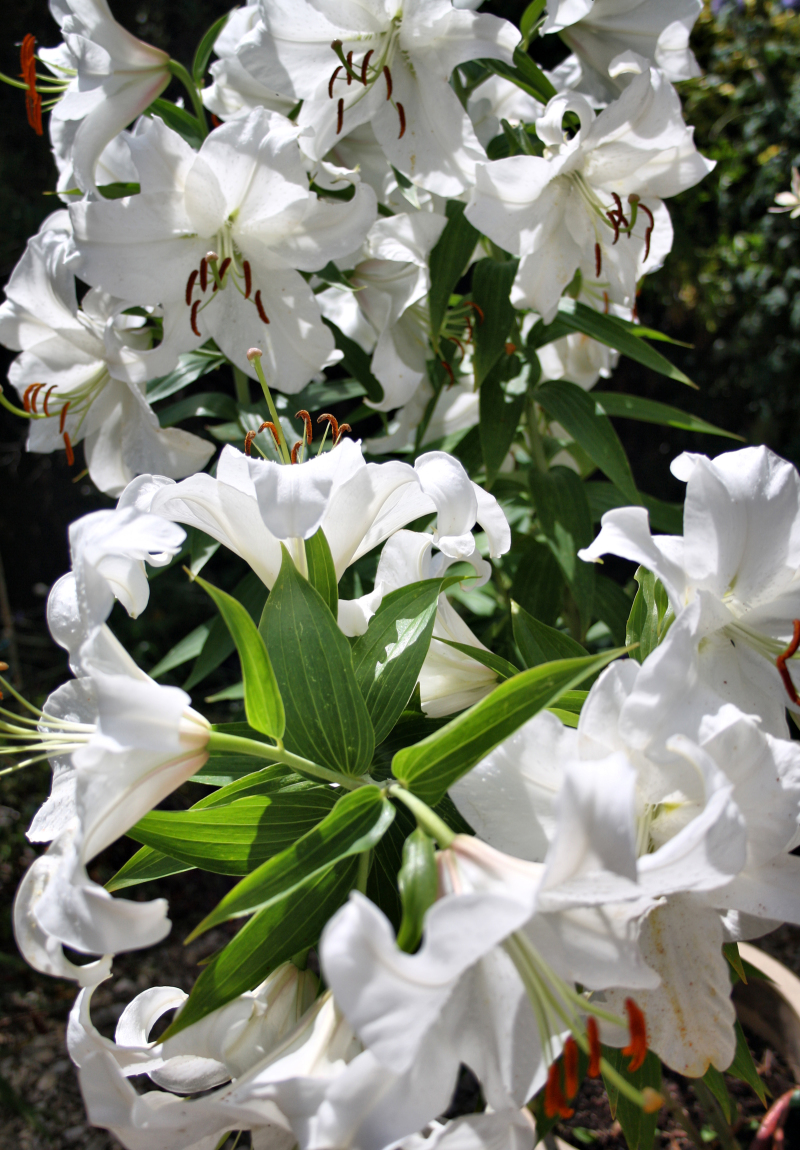 Ludlow Shropshire UK Lily
