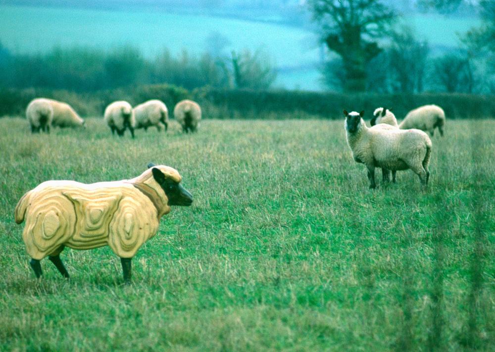 Sheep Herefordshire UK