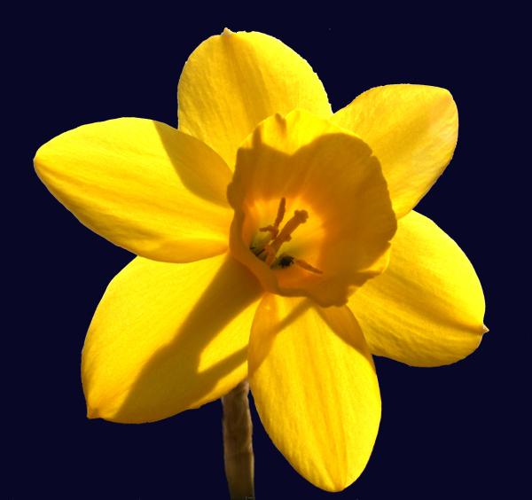 Ludlow Shropshire UK Daffodil