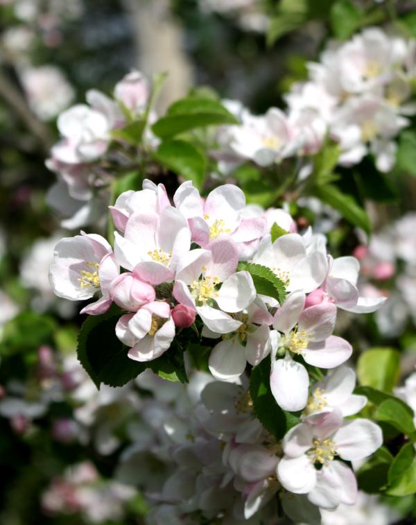 Ludlow Shropshire UK Apple Blossom