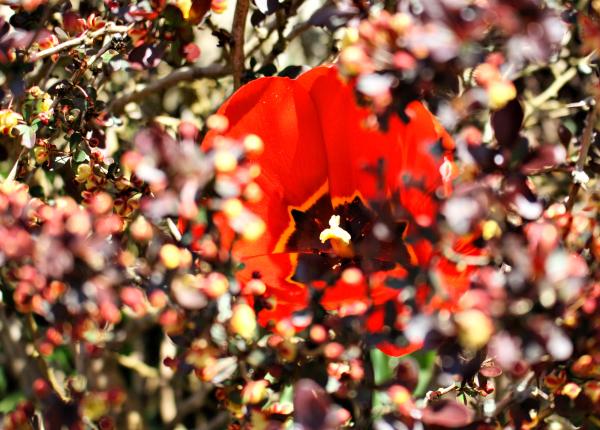 Ludlow Shropshire UK Tulip