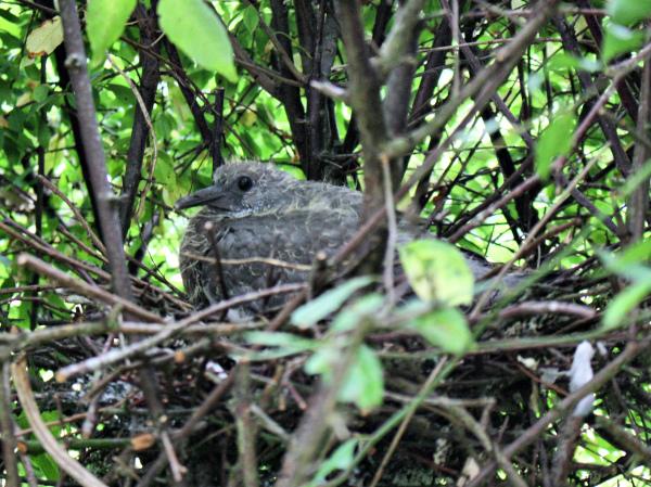 Ludlow Shropshire UK Wood Pigeon Chick