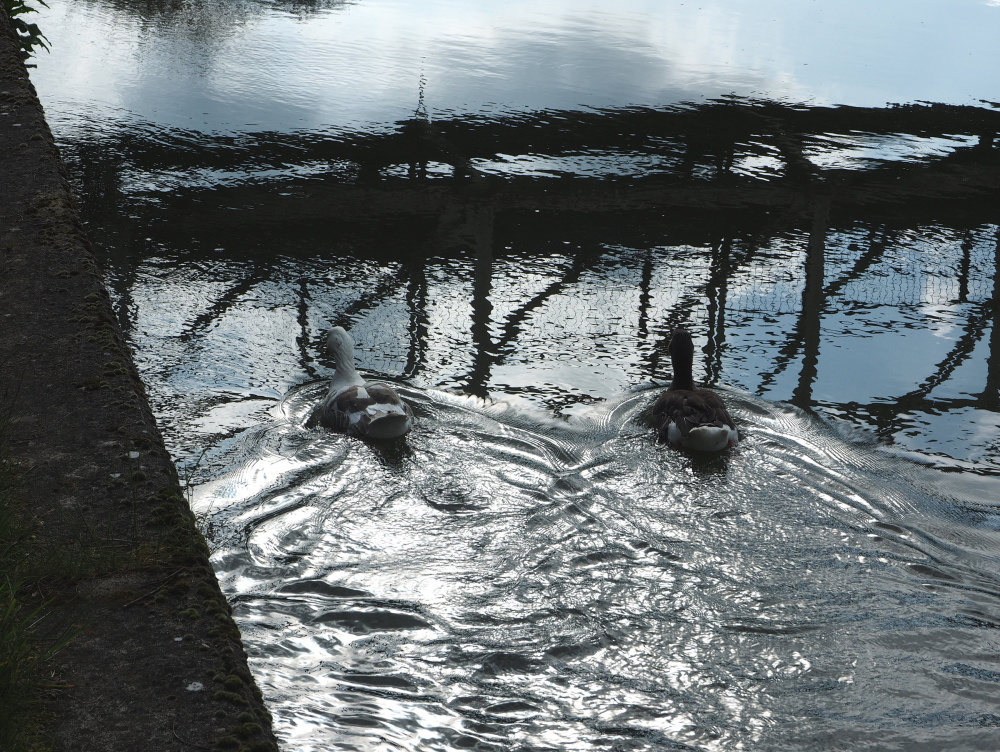 Oxford UK Geese