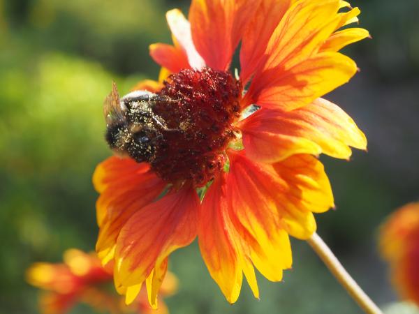 Ludlow Shropshire UK Bee