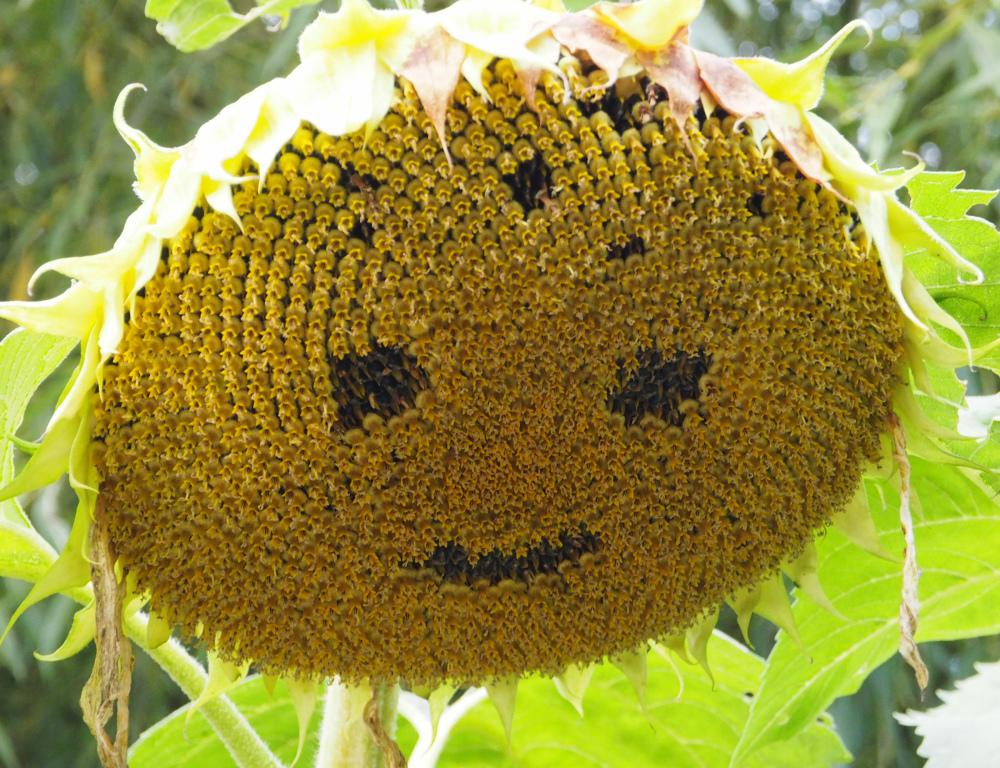 Ludlow Shropshire UK Sunflower