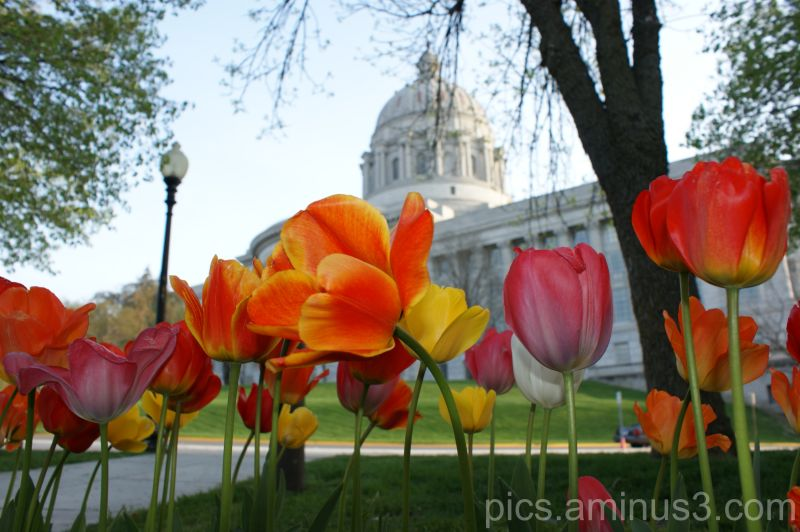 Tulips at the Capitol