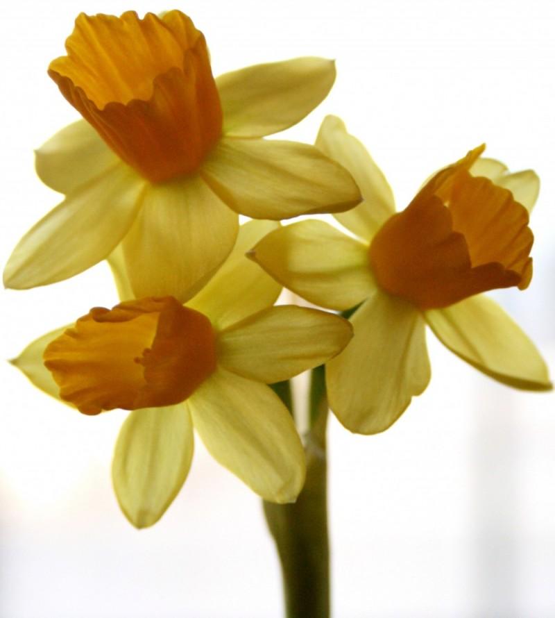 triple daffodils