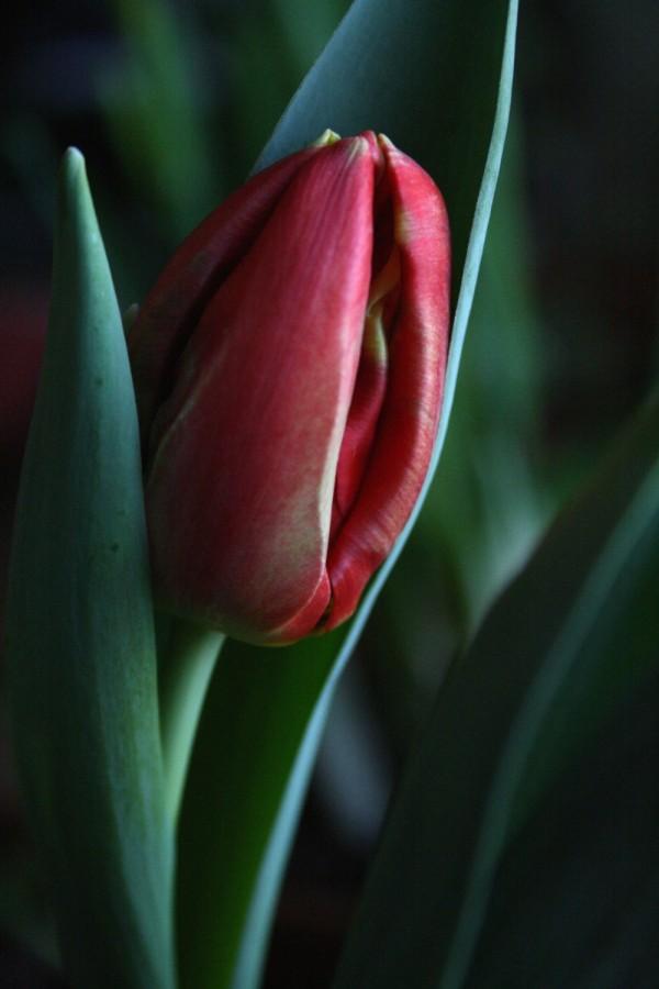 budding tulip