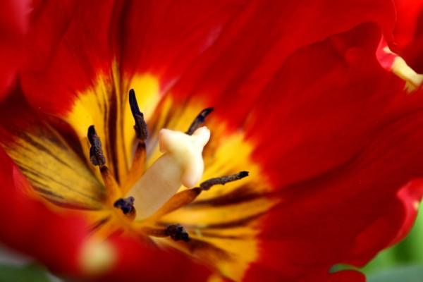 tulip II