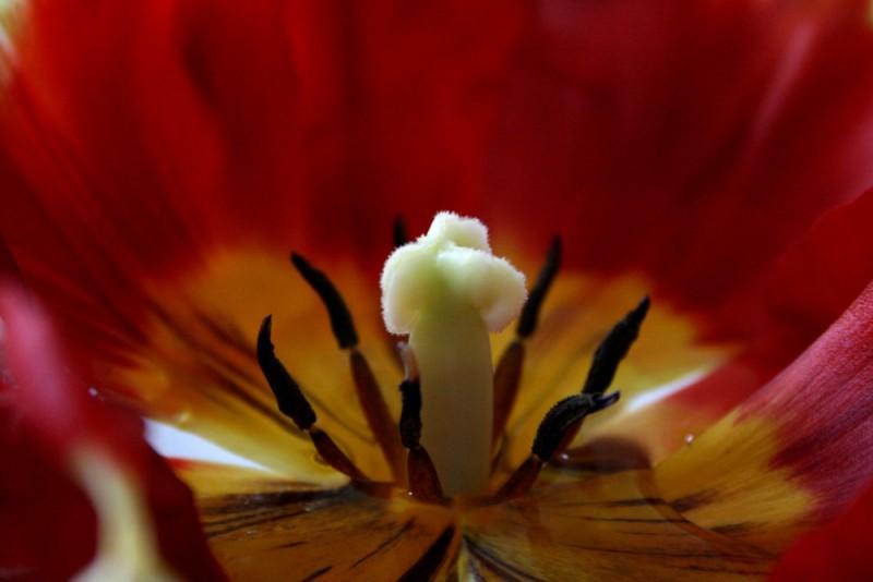 tulip iv