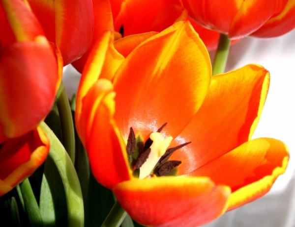 tulip and light II
