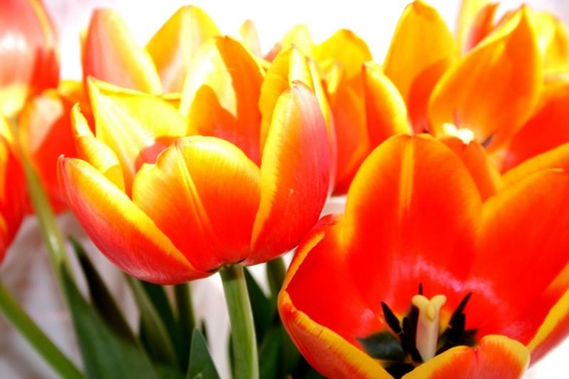 tulips and light III
