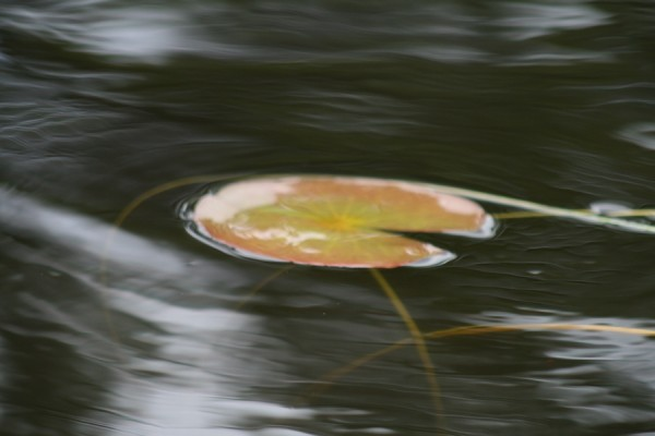 impressions of a water lily