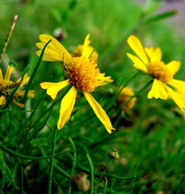 Yellow grass flowers shot in Macro mode