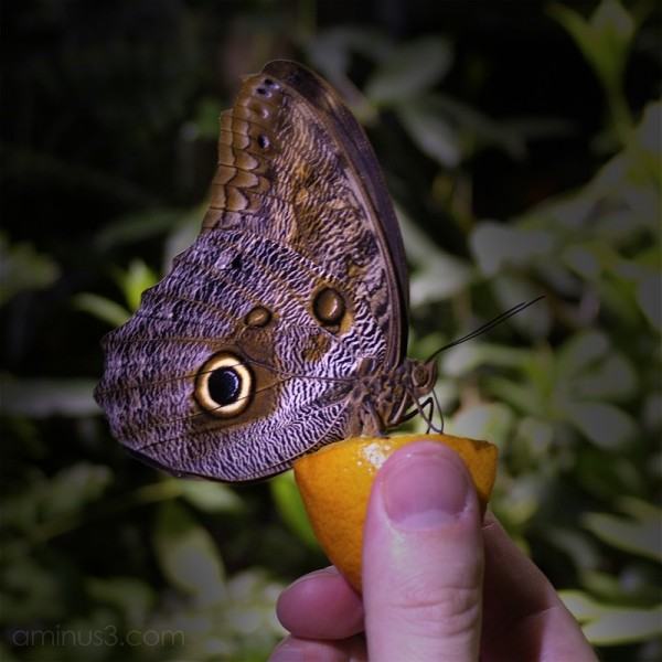 butterfly eating an orange