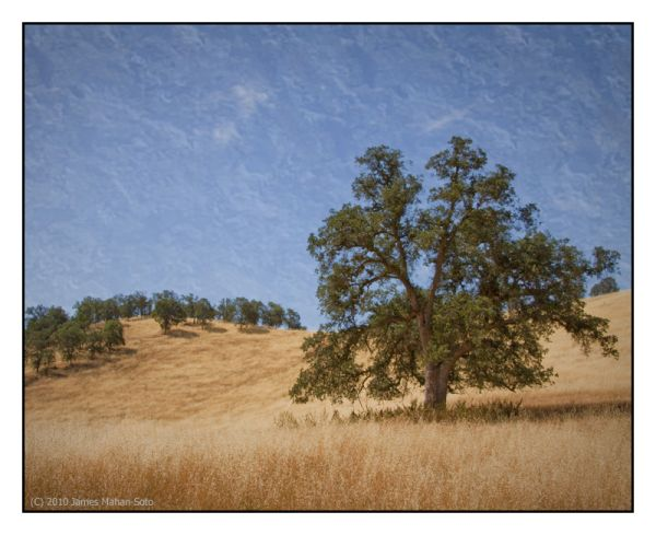 Oak Trees, SR245