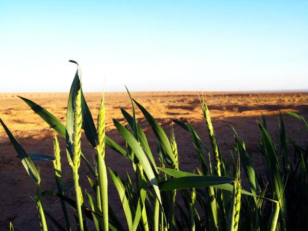 barley (2)