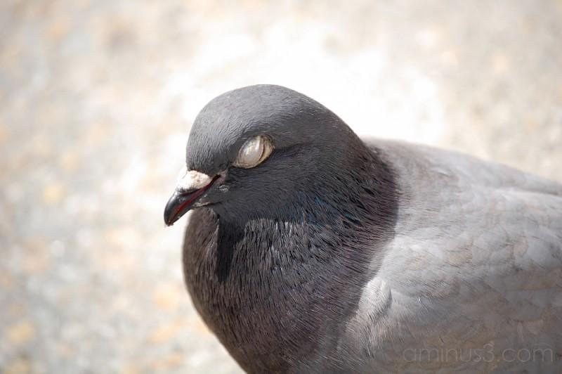 A Saintly... Pigeon?!