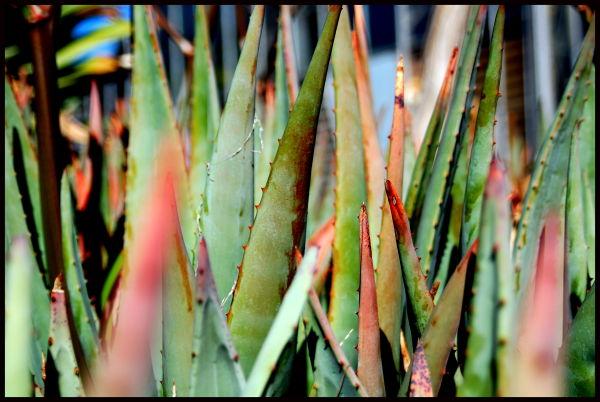 Aloe on the Loose