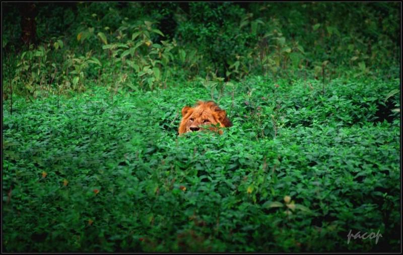León en Nakuru