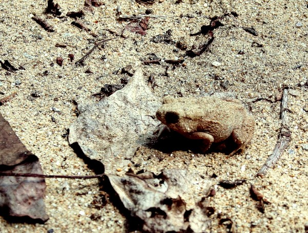Frog in sand