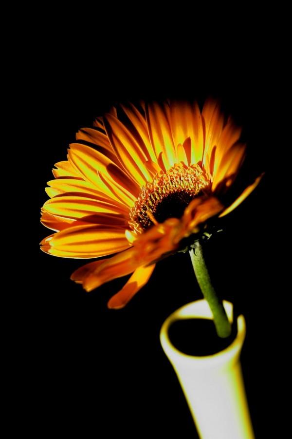 orange flower daisy zinnia