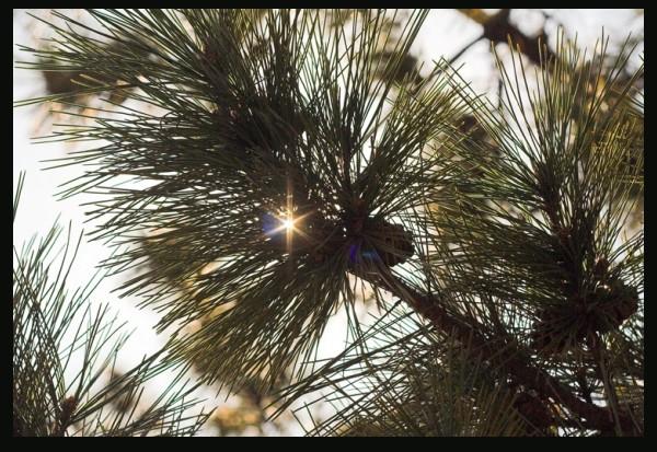 lens flair through pine needles