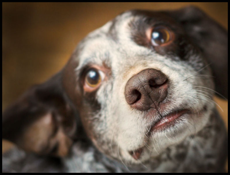 dog looking in lens