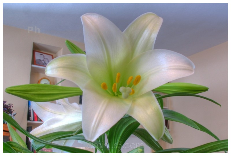 Easter Lily in HDR